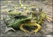 Великобритания: обнаружена трехголовая лягушка-мутант