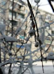 В Якутии в 40-градусный мороз расцвела верба
