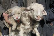 В Китае овца родила щенка