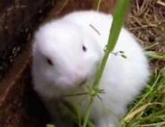 Возле «Фукусимы» рождаются кролики-мутанты (ВИДЕО)