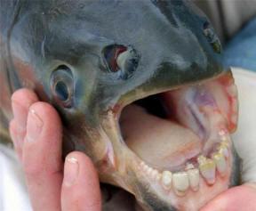 Специалисты идентифицировали рыбу с человеческой челюстью, пойманную в Челябинской области