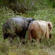 В Шри-Ланке впервые обнаружили белую слониху