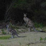 Автомобилисты говорят, что видели динозавра-кенгуру