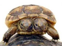 Вниманию общественности представлена двухголовая черепаха