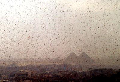 Каир сожрала саранча