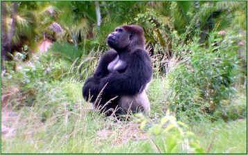 Австрия: мистическая горилла появилась лесах Австрии!