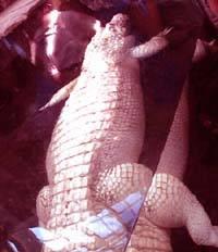 США: увидев американский зоопарк, аллигатор-альбинос... покраснел!