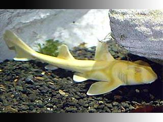 Сидней: редчайшая желтая акула выставлена на всеобщее обозрение