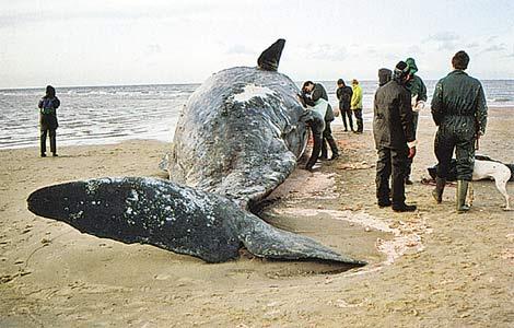 Очередная драма китов.